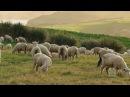 Sheep May Safely Graze - Овцы могут мирно пастись