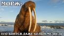МОРЖ Тюлень с огромными бивнями и очень толстой шкурой Интересные факты про моржей и животных