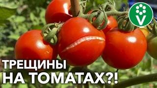 НЕ ПОТЕРЯЙТЕ УРОЖАЙ ИЗ-ЗА ОШИБОК В АГРОТЕХНИКЕ! Вот как не допустить растрескивания томатов!