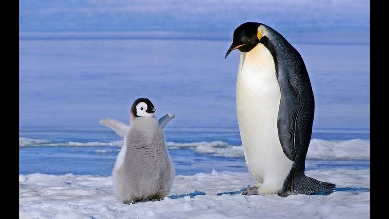 Голоса и звуки животных Арктики и Антарктики для детей Развивающее видео Карточки Домана
