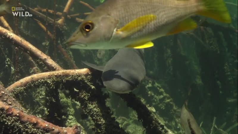 National Geographic Wild HD Акулы каннибалы 1 серия Невероятный доктор Пол