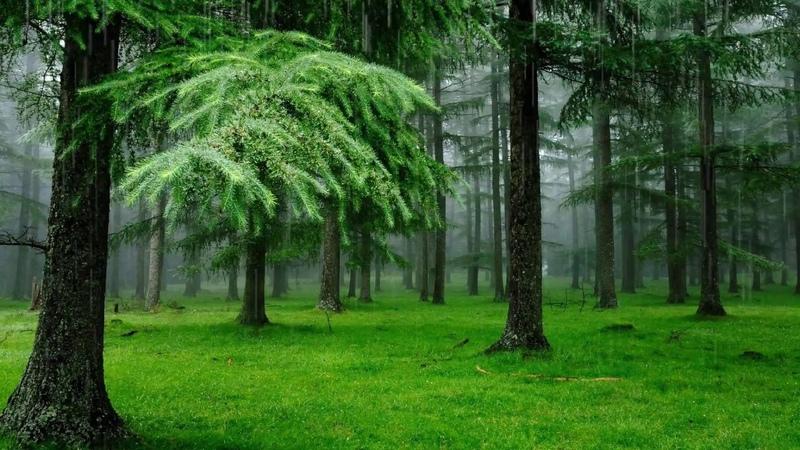 Дождь, лес, пение птиц Поющие птицы в дождливый день Лес наполненный звуками природы