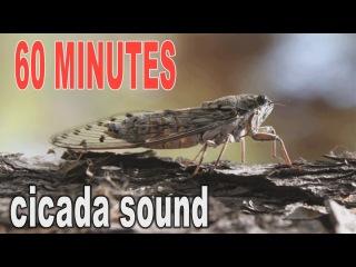 Summer cicada sound #  60 minutes cicada's  sound # Video FHD 1080p.