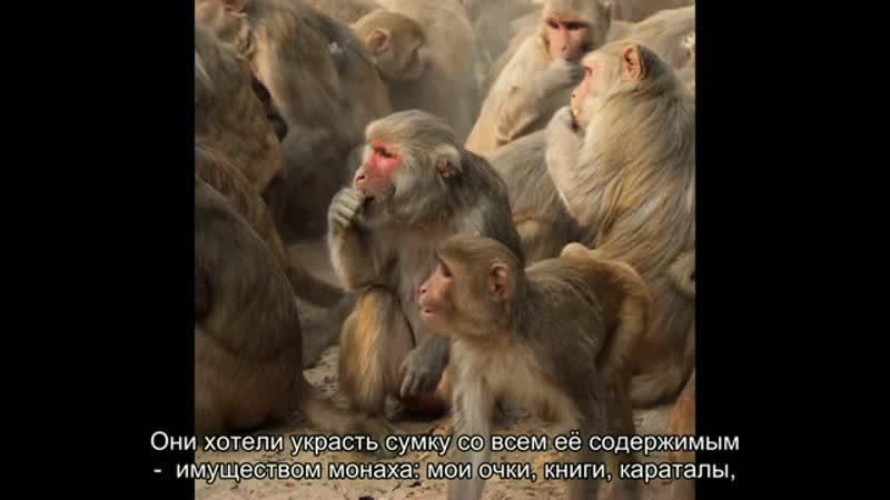 12 погонщик обезьян