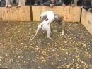 Собачьи бои аргентинский дог vs питбуль 90-е