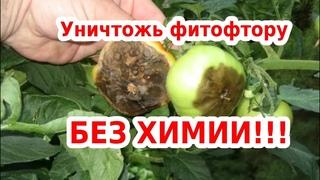 Забудьте о ФИТОФТОРЕ на помидорах, картофеле и огурцах! БЕЗ ХИМИИ!