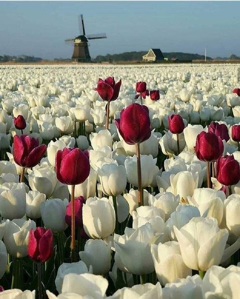 Море из тюльпанов в Нидерландах