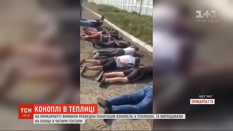 Правоохоронці виявили рекордну плантацію конопель у теплицях на Прикарпатті