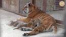 Заботливая тигрица Скарлетт с малышами Тайган Caring tigress Scarlett with cubs Taigan
