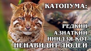 КАТОПУМЫ: Золотые редкие азиатские кошки - Темминка и калимантанская | Интересные факты про кошек