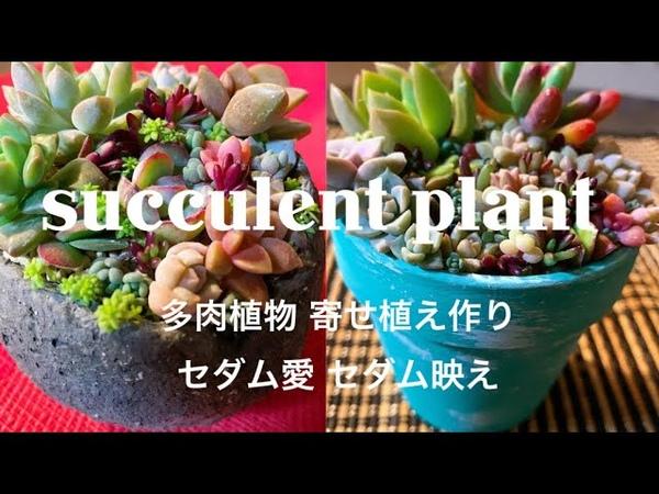 多肉植物 寄せ植え作り セダム愛 セダム映え succulentplant 暮らし 趣味 癒し