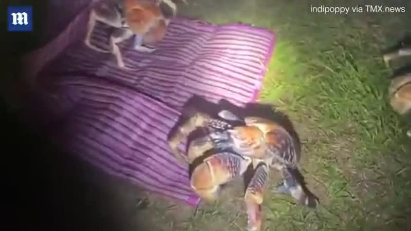 Гигантские крабы грабители захватили палаточный лагерь