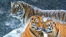 Тигрица молила спасти ее детенышей она пришла к воинской части