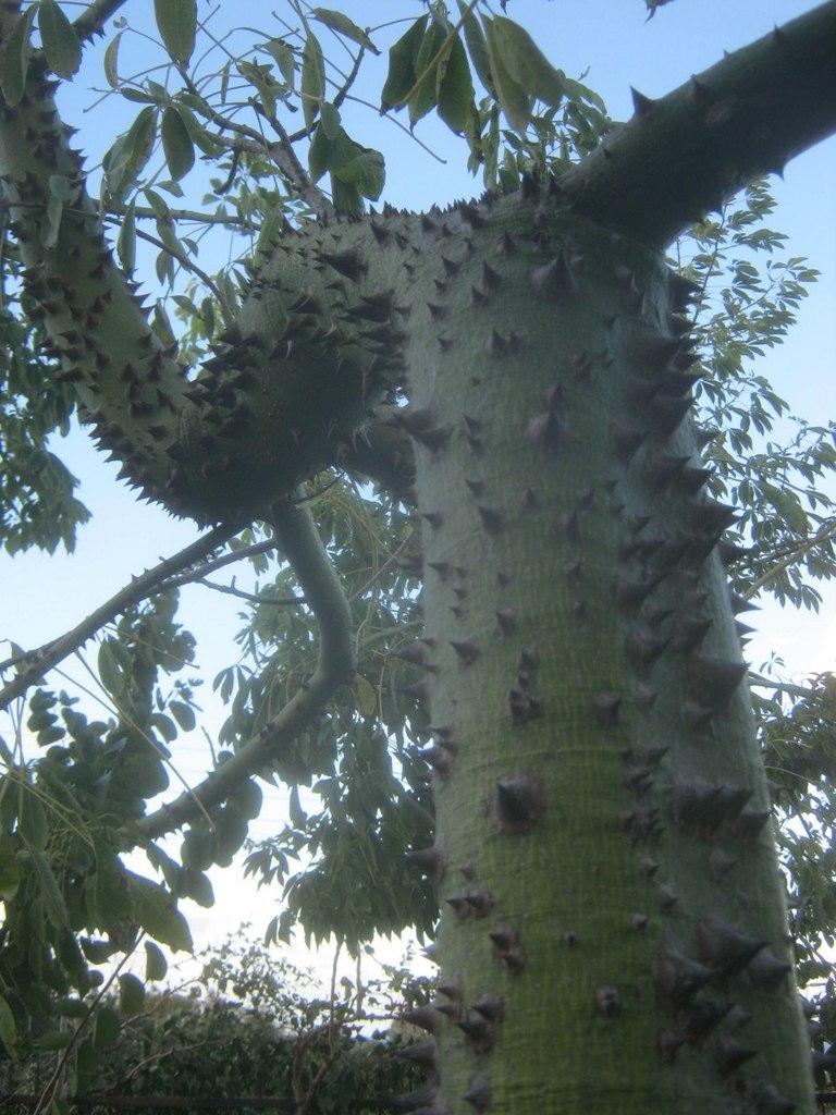 Дерево с шипами в ботаническом саду Гирне