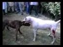 Собачьи Бой Питбуль и Гуль Донг