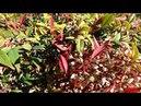 Весна в Испании Nandina Domestica нандина цветение декоративные растения 27 01 2018