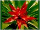 Экзотический цветок Гузмания Спасаем цветочек Комнатные растения, цветы