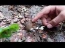 Дикая и немного ручная мышь на Суадагском водопаде
