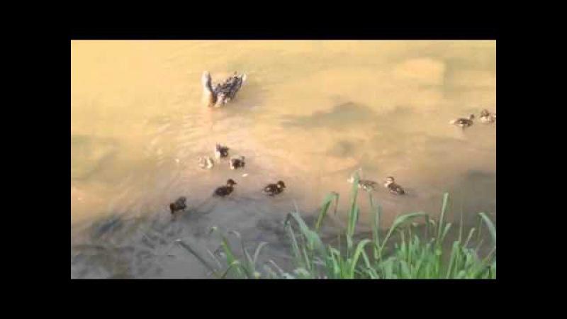 Отважная мама утка против водяной крысы