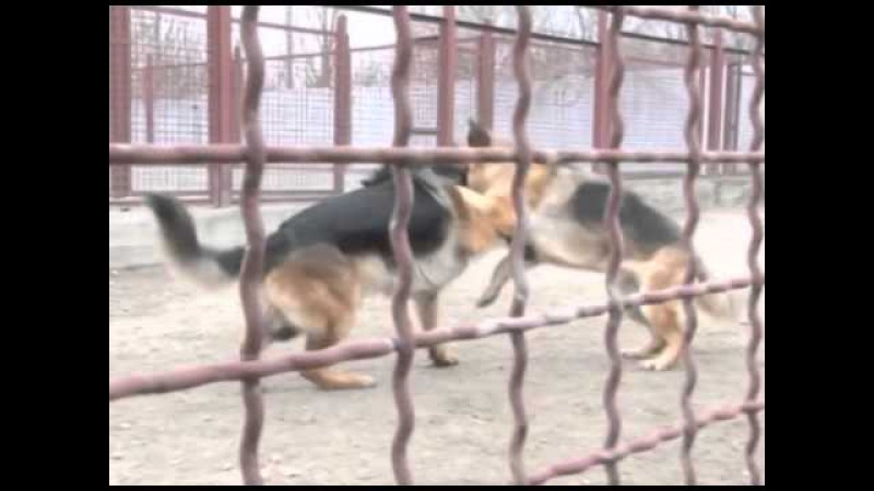 GoodDog Развитие поисково обонятельного инстинкта у щенков