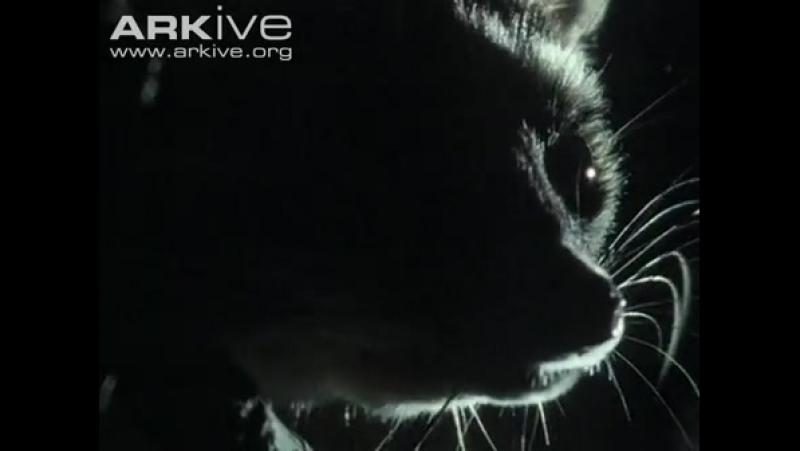 Какомицли ночной житель Bassariscus Ring tailed cat