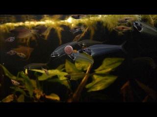 Биотопный аквариум. Юго-Восточный Таиланд. Гурами жемчужный, Сом стеклянный и Расбора эспеи