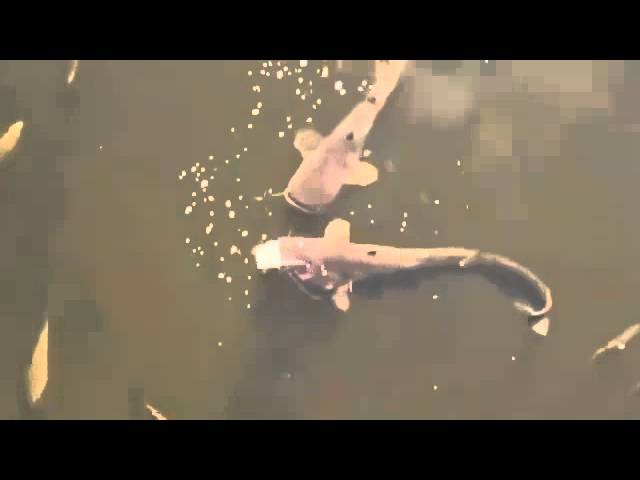 Велетенські соми у Чорнобилі