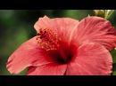 Распускающиеся цветы. Красота природы.