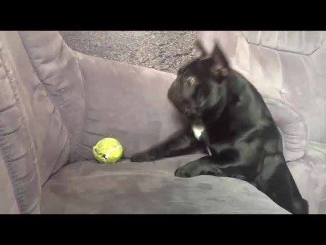 Pug's try