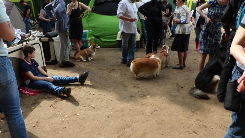 Выставка корги в рамках выставки собак в сокольниках 15.07.2017