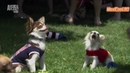 Чихуахуа Порода собак Dog breeds funny funny cats and dogs