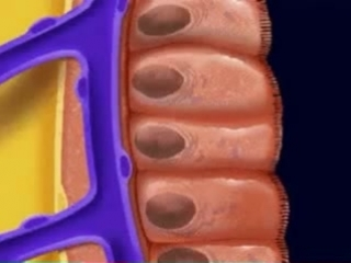 Строение слизистой оболочки тонкого кишечника