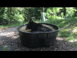 Just for fauna rescued black bear takoda cools off with...