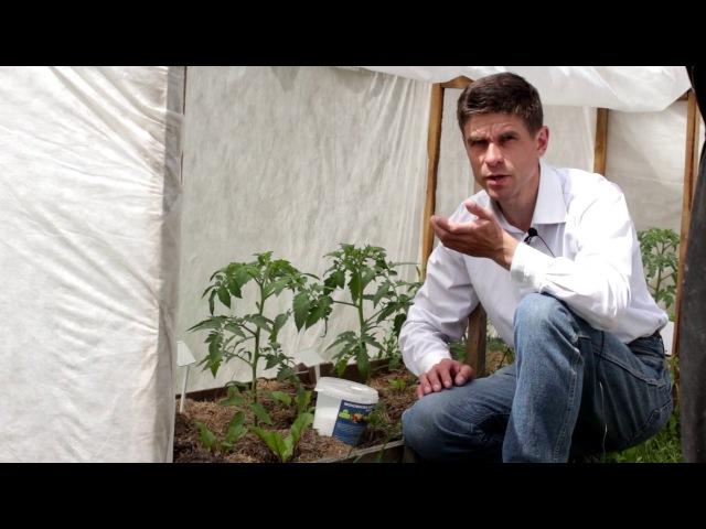 15 кг помидор с куста Подкормка томатов во время цветения