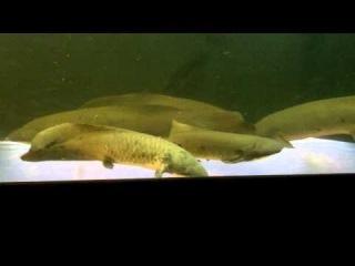 Australian Lungfish Neoceratodus forsteri