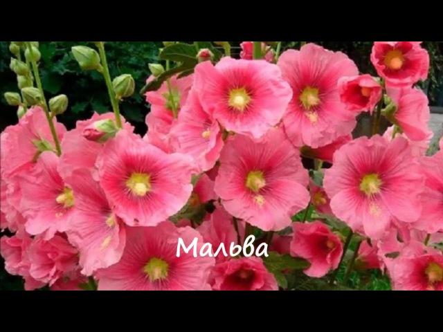 Какие цветы размножаются самосевом Фото Названия