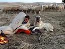 Yaz Kış Demeden Canı pahasına da olsa Sürüyü Kollayıp Koruyan Aslanlar ve Çoban
