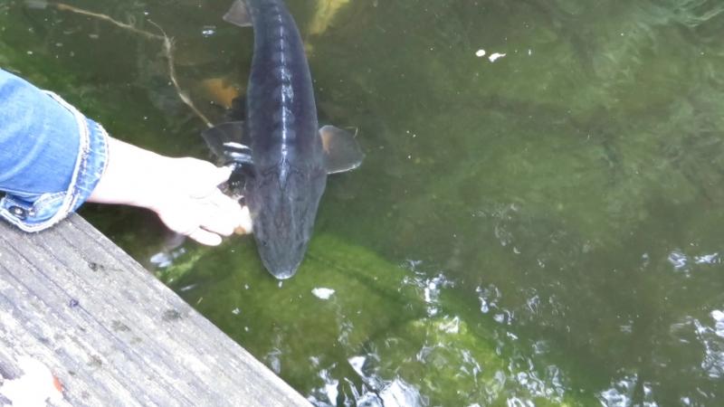 Маленькие простые радости делающие нашу жизнь счастливой. Кормлю моего осетра из рук и другую рыбку в пруде. Нидерланды