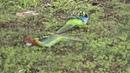 Попугаи Розелла прилетают ко мне во двор на кормёжку rosella parrots