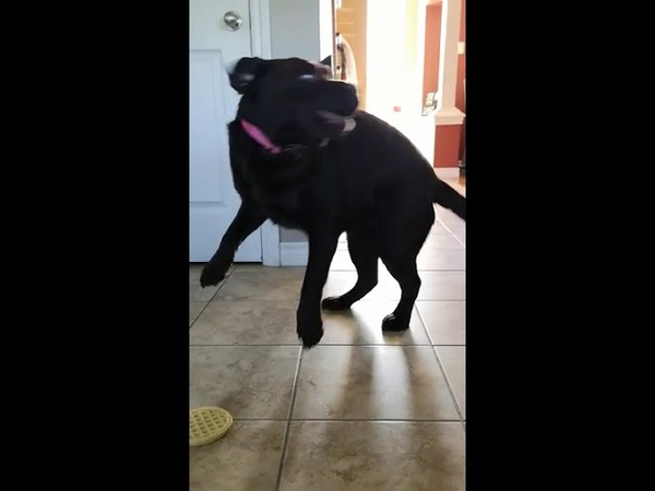 Dog Jumps for Joy After Getting Frozen Waffle - 994320