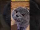 Приколы с котами 2017 Очень разговорчивый кот зовет хозяйку по имени