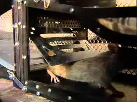 Grosse Lebendfalle Rattenfalle Mausefalle fuer mehr als 7 Nager gleichzeitig MAF01