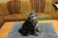 Питомник предлагает котят курильских бобтейлов, есть мальчики и девочки, Котятам почти 3 месяца, кушают