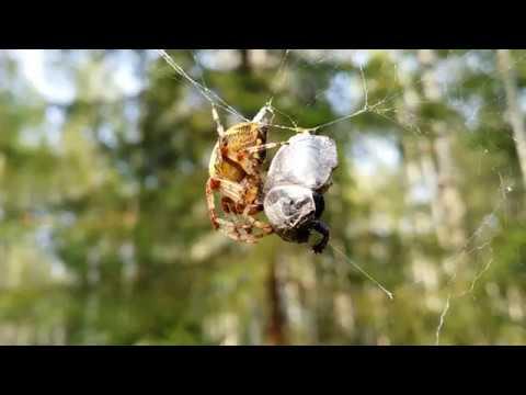 Жук Навозник попал в паутину к большому пауку