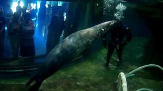 Тюлени В Санкт-Петербургском океанариуме и водолаз)