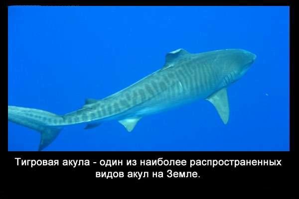 Valteya - Интересные факты о акулах / Хищники морей.(Видео. Фото) - Страница 2 PYtjDwbpG_A