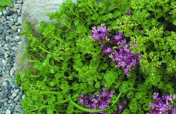 Цветочная поляна - ковровые растения