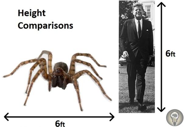 Доисторические пауки из Конго. Согласно современным научным знаниям, самым большим пауком в мире является Ptaszni goliat, весящий около 250 граммов, а расстояние между его лапками составляет