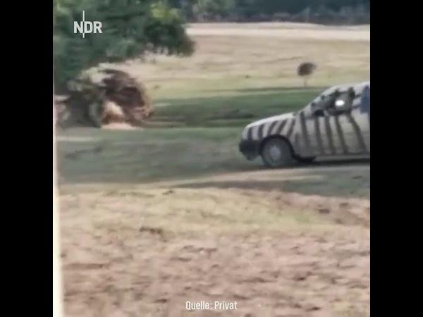 Rinoceronte destruindo carro