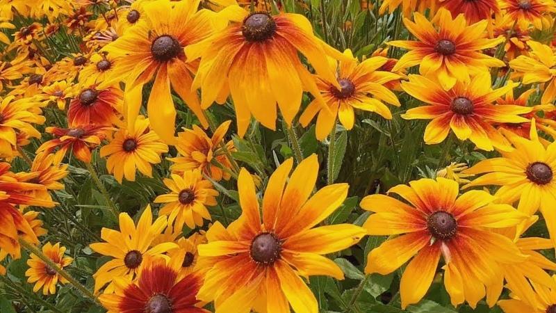 Рудбекии выращивание и уход за цветами в саду Посадка разные виды и сорта